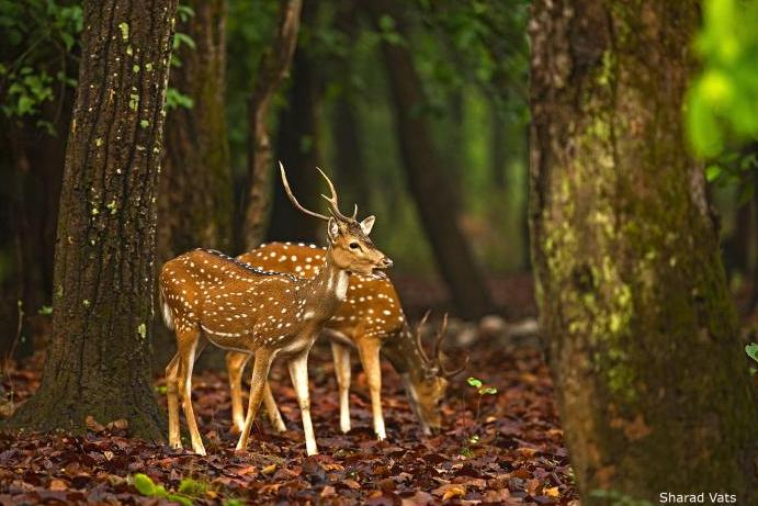 dudhwa national park deeo duo 768 x 512